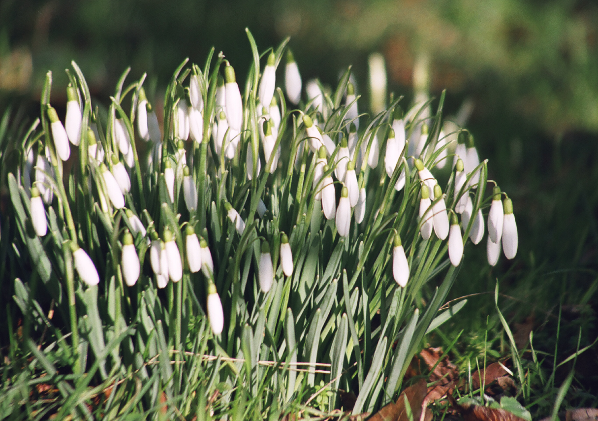 Picture of Snowdrop Greetings Cards Set
