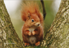 Picture of Red Squirrels Calendar